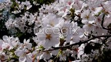 Link tomaterial picture blossom cherry White