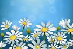 White daisy flowers vector