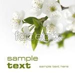 Link toWhite flowers psd