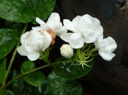 Link toWhite jasmine hd pictures