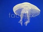 Link toWhite jellyfish psd
