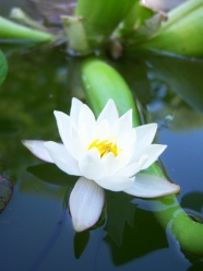Link toWhite lotus hd pictures