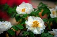 Link toWhite peony pictures