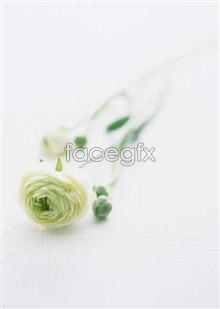 Link topicture rose White