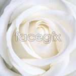 Link toWhite roses psd