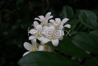 Link toWhite, sweet-scented osmanthus hd picture