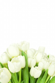 Link toWhite tulip picture material