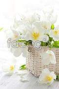 Link toWhite tulip psd