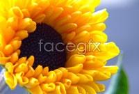 Link toYellow chrysanthemum hd picture