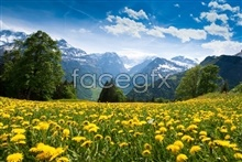 Link topictures hd snow chrysanthemum Yellow