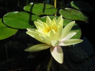 Link toYellow lotus hd picture download