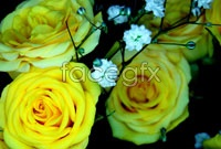 Link toYellow roses pictures hd