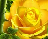 Link toYellow roses with drops of psd