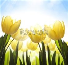 Link topicture tulip Yellow
