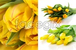 Link toYellow tulips psd