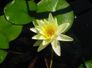 Link toYellow water lily picture material