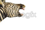 Link toZebra picture material psd